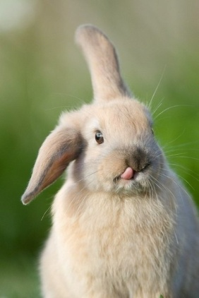 bunny tongue